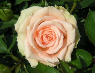 Common rose pests & diseases