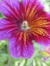 Trumpet-flower, Painted Tongue - Salpiglossis sinuate