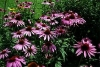 Cone Flower, Purple Cone Flower - Echinacea purpurea