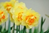 Daffodil, Narcissus, Jonquil - Narcissus