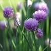 Chives - Allium