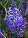 Spurflowers - Plectranthus