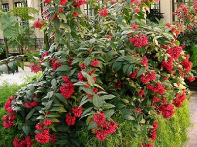 Yellow & Crimson Cestrum