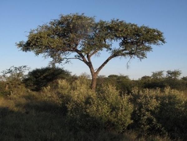 Camel Thorn Kameeldoring Mogohlo Vachellia Erioloba