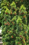 Common Yew, English Yew, European Yew - Taxus baccata