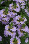 Fairy Fan-flower, Common Fan-flower - Scaevola aemula