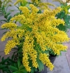 Golden Rod - Solidago Hybrids