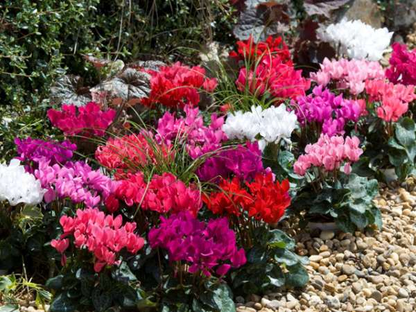 Winter And Spring Flowering Bulbs