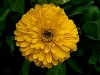 Calendula, English Marigold, Pot Marigold - Calendula officinalis
