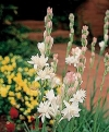 Tuberose - Polianthes