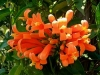 Golden Shower, Flame Vine, Gouereen - Pyrostegia venusta