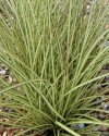 Sedges - Carex