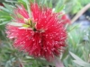 Dwarf Bottle Brush - Callistemon citrinus 'Little John'