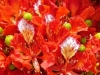 Flamboyant, Royal Poinciana , Flambojant - Delonix regia