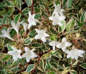 Abelia Glossy Abelia Golden Abelia Abelias