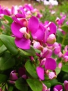 September Bush, Butterfly Bush, Purple Broom, Augustusbossie - Polygala