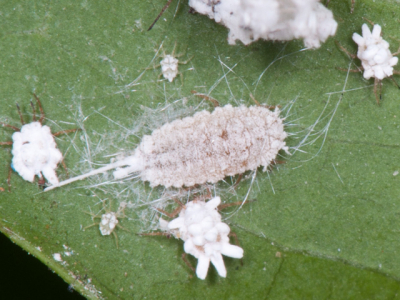 Mealy bugs affect many ornamentals