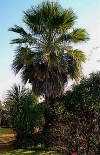 Washingtonia Palm - Washingtonia robusta