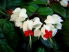 Bleeding Heart Vine, Bleeding Glory-bower - Clerodendrum thomsoniae