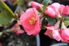 Flowering Quince, Japonica - Chaenomeles japonica