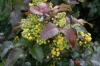 Oregon Grape, Holly Mahonia - Mahonia aquifolium