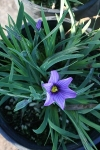 Blue-eyed Grass - Sisyrinchium x bellum 'E. K. Balls'
