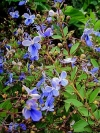 Blue Butterfly Bush, Blue Glory Bower - Clerodendrum ugandense
