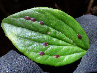 Scale insects vary in colour & size