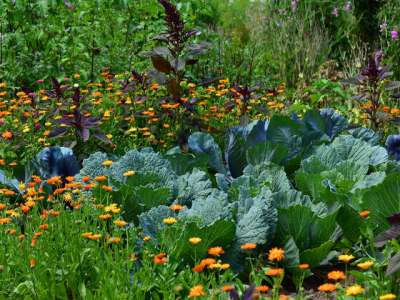 When to sow winter vegetables