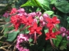 Scarlet Clerodendrum, Flaming Glorybower - Clerodendrum splendens