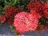 Jungle Geranium, Flame of the Woods, Rugmini, Vedchi, Rangan, Chethi - Ixora