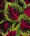 Coleus, Painted Nettle - Solenostemon scutellarioides