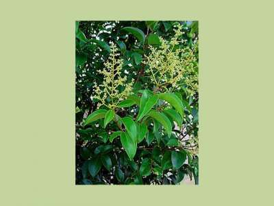 Privets, Ligusters (Ligustrum)
