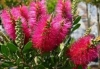 Bottlebrush, Bottelborsel - Callistemon