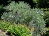 Cabbage Tree, Mountain Cabbage Tree, Bergkiepersol, umSenge, mNgqokhwe  - Cussonia paniculata
