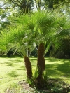 Mediterranean or European Fan Palm - Chamaerops humilis