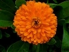 Calendula, English Marigold, Pot Marogold - Calendula officinalis
