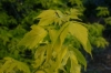 Box Elder Maple - Acer negundo