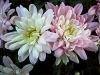 Chrysanthemum -  Chrysanthemum x grandiflorum