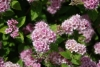Spiraea, Cape May, Garland Spiraea, Bridal May, Mayflower, Japanese meadowsweet - Spiraea