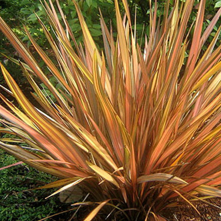 New Zealand Flax Nieu Seelandse Vlas Coastal Flax Mountain Flax