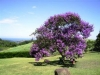 Tibouchina, Glory Tree, Glory Bush, Princess Flower - Tibouchina species