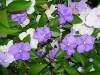 Yesterday, Today and Tomorrow, Verbleikblom - Brunfelsia pauciflora 'Eximia'