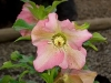 Lenten Rose, Christmas Rose, Easter Rose - Helleborus