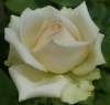 Fabulous Rita - Hybrid Tea Rose