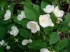 Mock Orange,  English Dogwood - Philadelphus coronarius