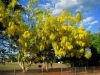 Golden Shower Tree, Indian Laburnum - Cassia fistula