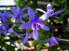 Purple Wreath, Sandpaper Vine - Petrea volubilis