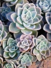 Rock Rose, White Mexican Rose - Echeveria elegans